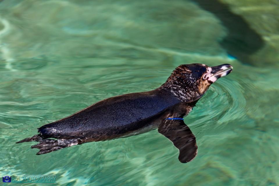 Penguin Humboldt