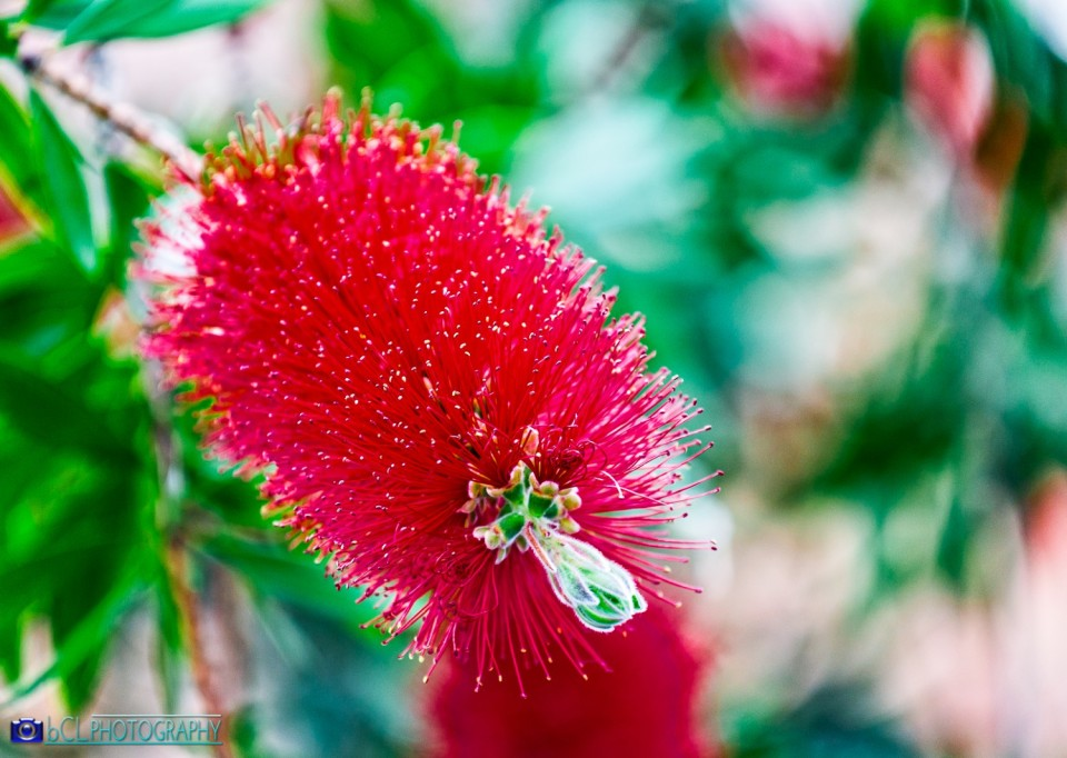 Red bottlebrush flower (Callistemon citrinus)